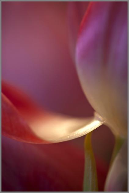 f, Tulipo
