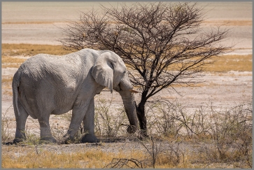 Elefanter d