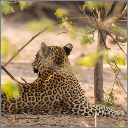 Leopard d