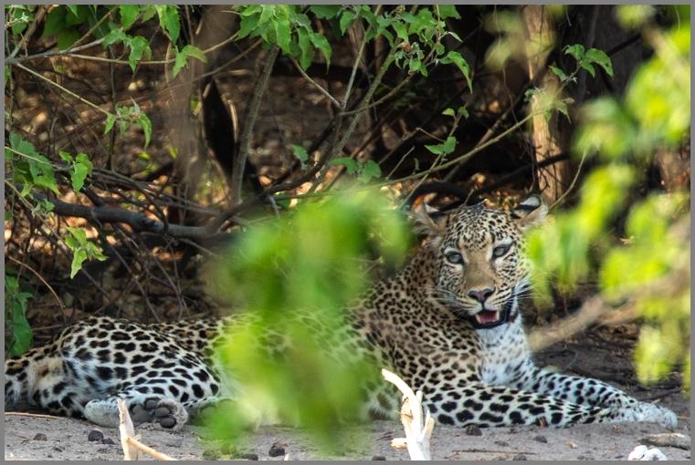Leopard e