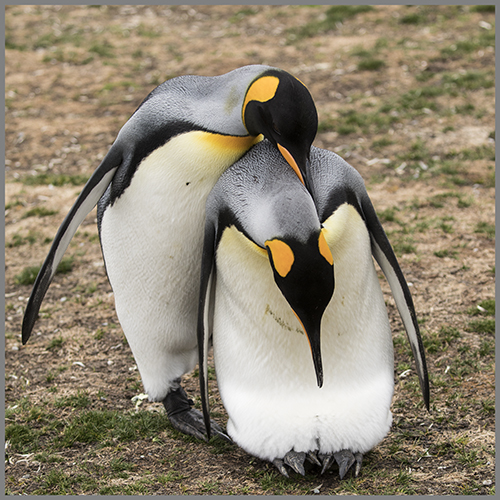 Pingviner b