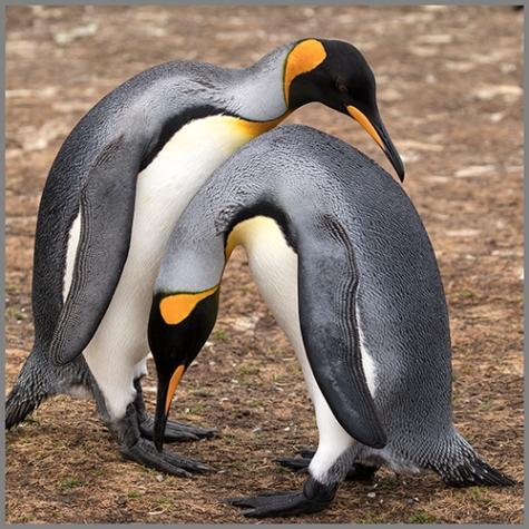 Pingviner c