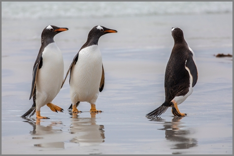 Pingviner d