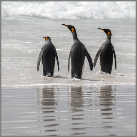 Pingviner e