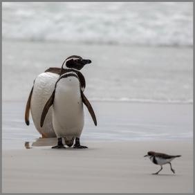 Pingviner f