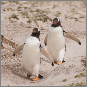 Pingviner g