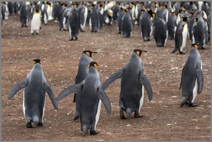 Pingvinera