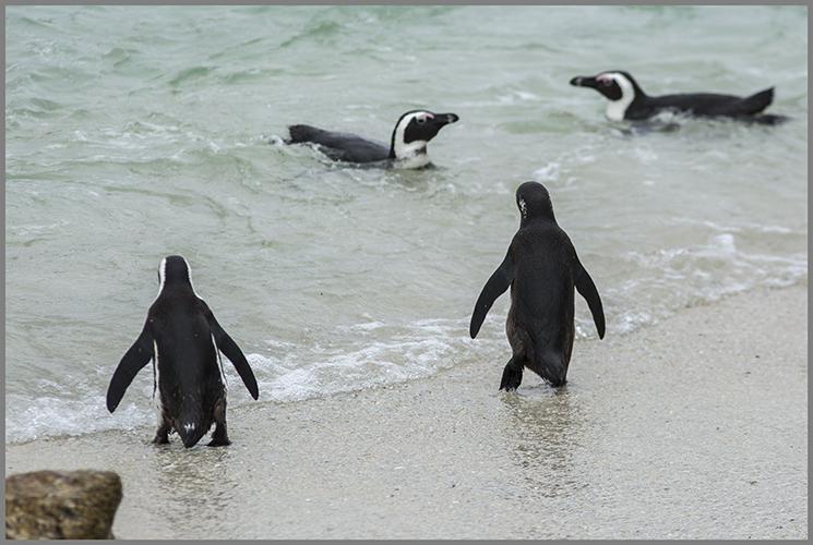 Vem älskar inte pingviner