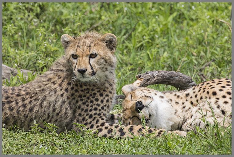Gepard a
