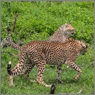 Gepard b