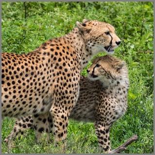 Gepard c
