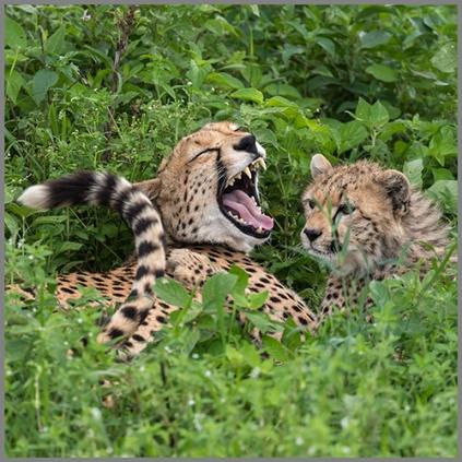 Gepard d