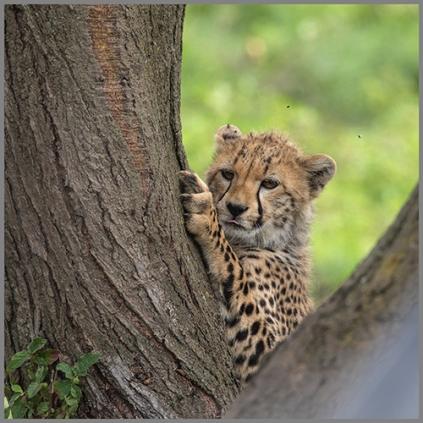 Gepard e
