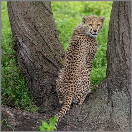 Gepard f