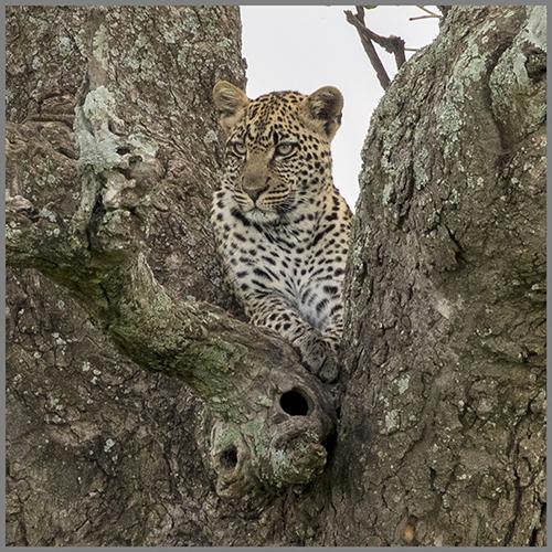 Leopard b