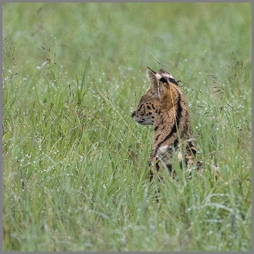 Serval c